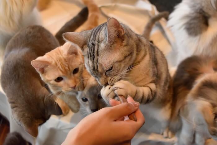飼い主から手で与えられた餌を食べている猫の画像
